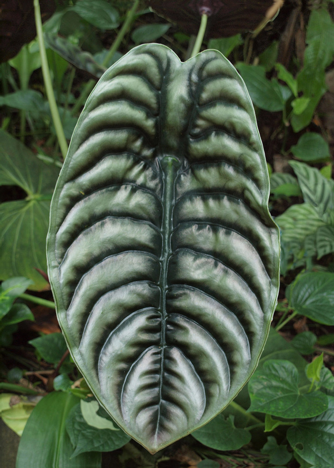 Silver Elephant Ear - photograph by Gail Russell